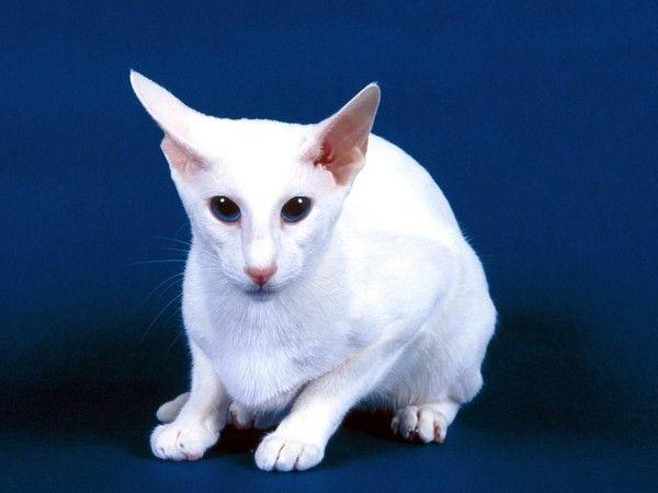 Cartes Postales CHATS 12 | Races de chats, Chats blancs, Chat domestique