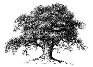 """""""Old engraving of an oak tree, isolated on white. Scanned ..."""