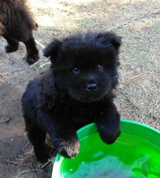 Chow Chow Puppy For Sale In Macon Ga Adn 53348 On Puppyfinder