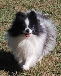 Adopt Adelaide On Pomeranian Parti Pomeranian Cute Dogs