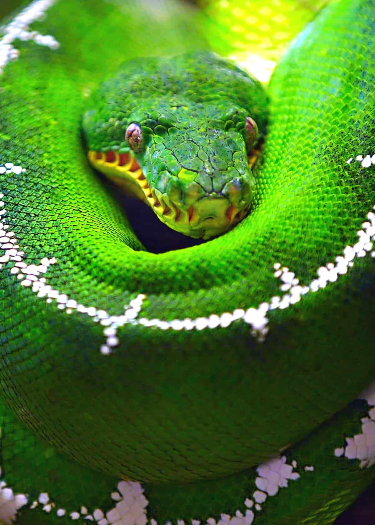 46 Emerald Tree Boa Facts Both Species Guide Jewel Of The Amazon