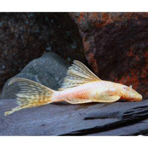 Longfin Albino Bristlenose Plecostomus Petsmart Only Gets 6 Long Max Can Live In Tank With Betta Plecostomus Tropical Fish Aquarium Aquarium Catfish