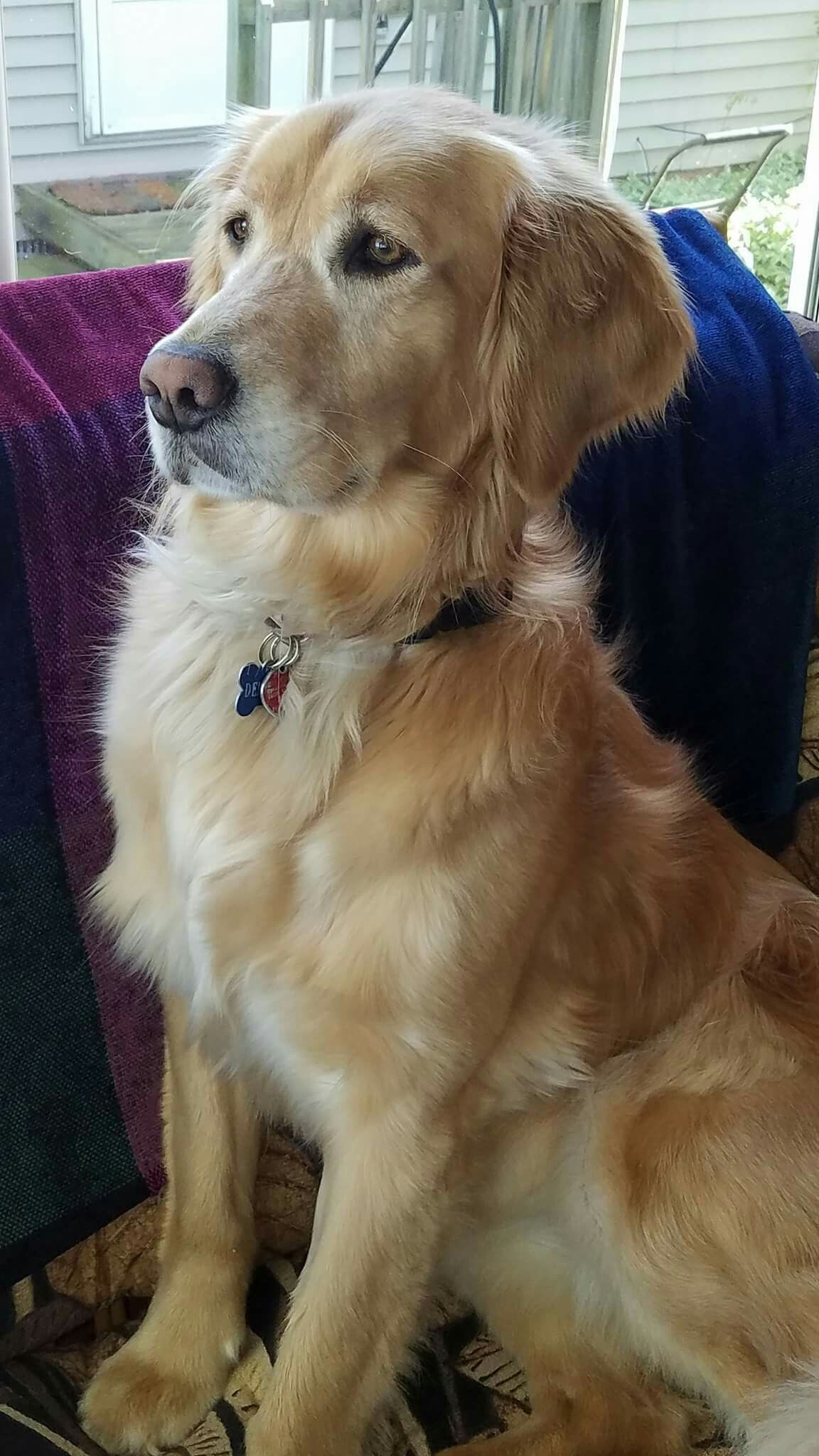The Most Beautiful And The Best Dog In The World Is A Golden - 18 ferocious dogs posing beside their beware of dog signs