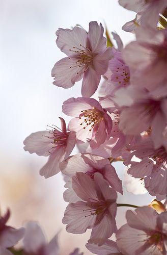 Sakura Sakura Flower Flowers Photography Beautiful Flowers
