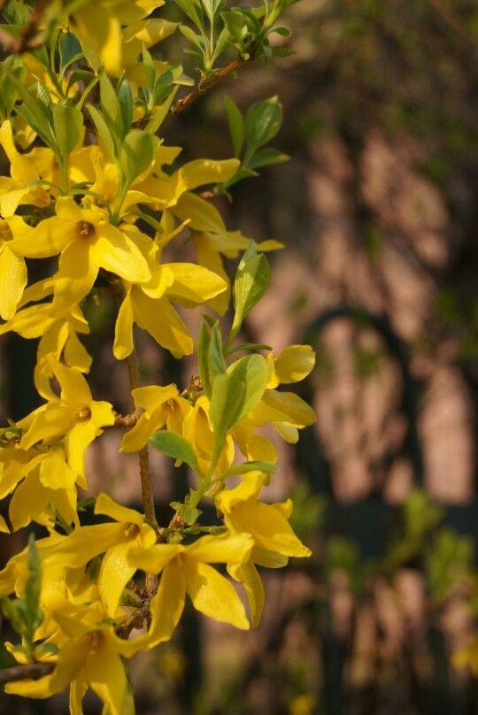 개나리 flower