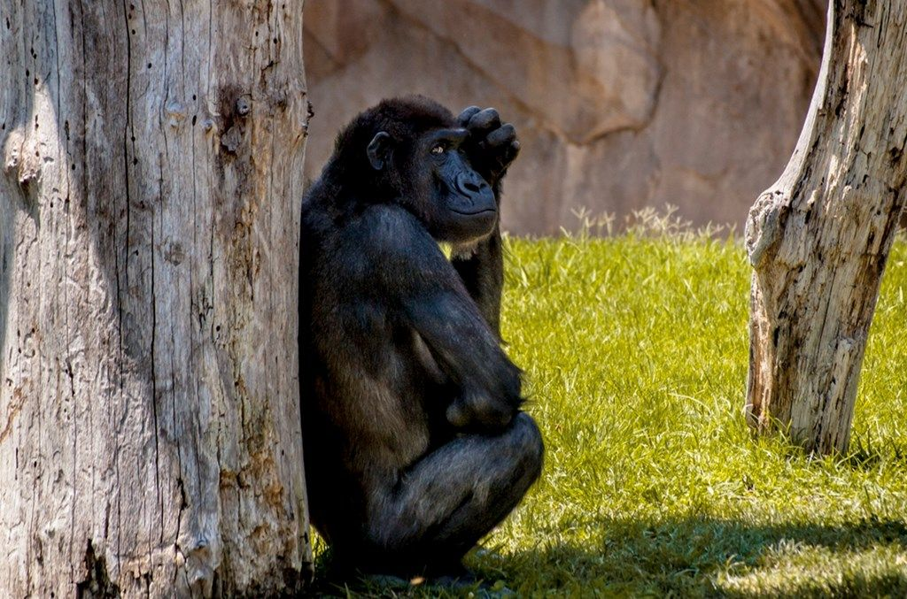 Monkey glance (1024x2000)