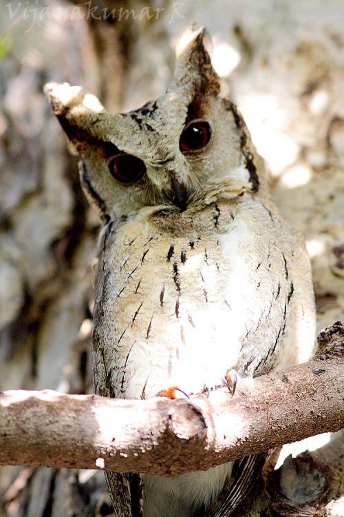 faerieforests:  Indian Scops Owl (Otus bakkamoena)...