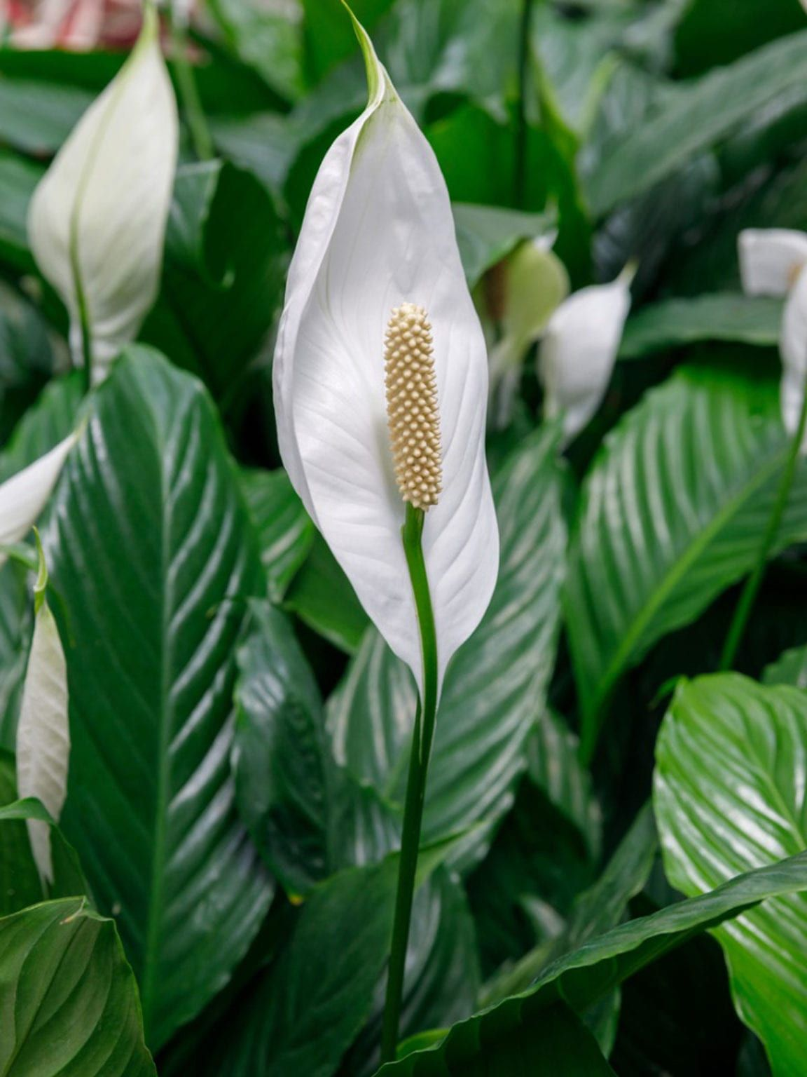 Peace Lily Plants Care Of Peace Lilies In 2020 Peace Lily Plant Peace Lily Plant Care Peace Lily