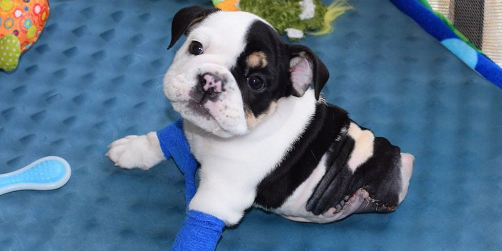 This Tiny Rescued Bulldog Might Be Half A Puppy But He S Full Of