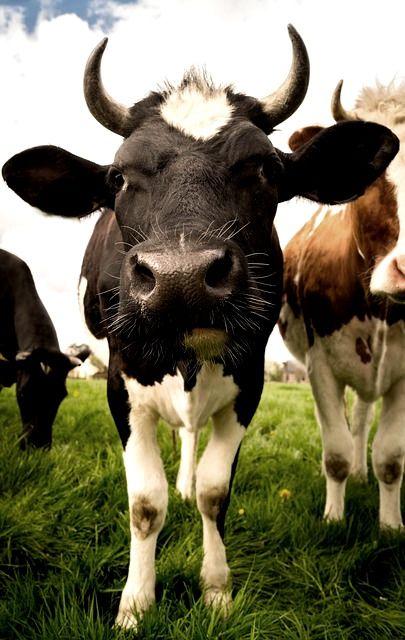 Pin By Diana On Mooooo Cow Photos Animal Wallpaper Cows Funny