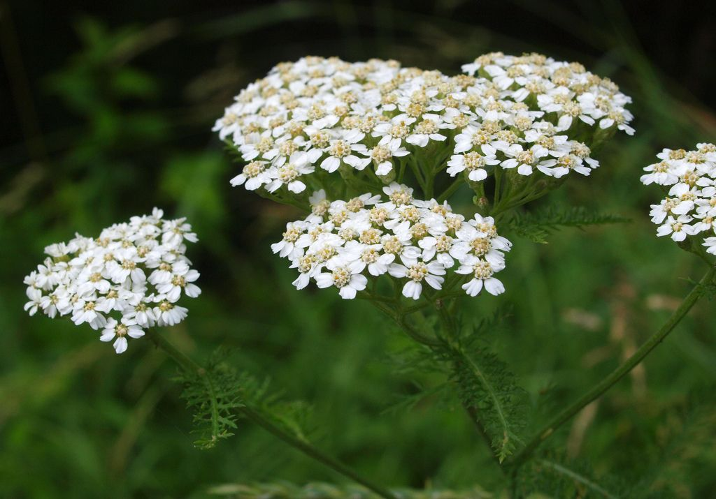 Image result for yarrow ontario