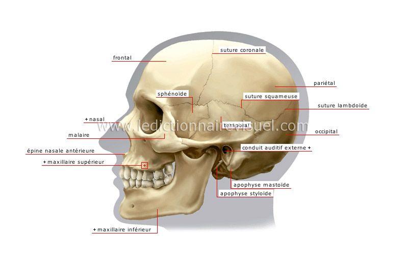 vue latérale du crâne image | anatomie | Pinterest