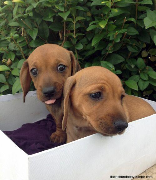 Sweet Babies Dachshund Dachshund Love Puppies