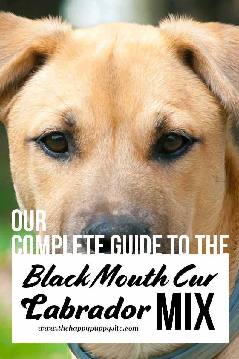 Black Mouth Cur Lab Mix - Check Out Our Complete Guide Here