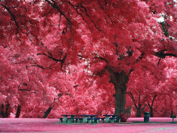Pink Trees by Colin Berry