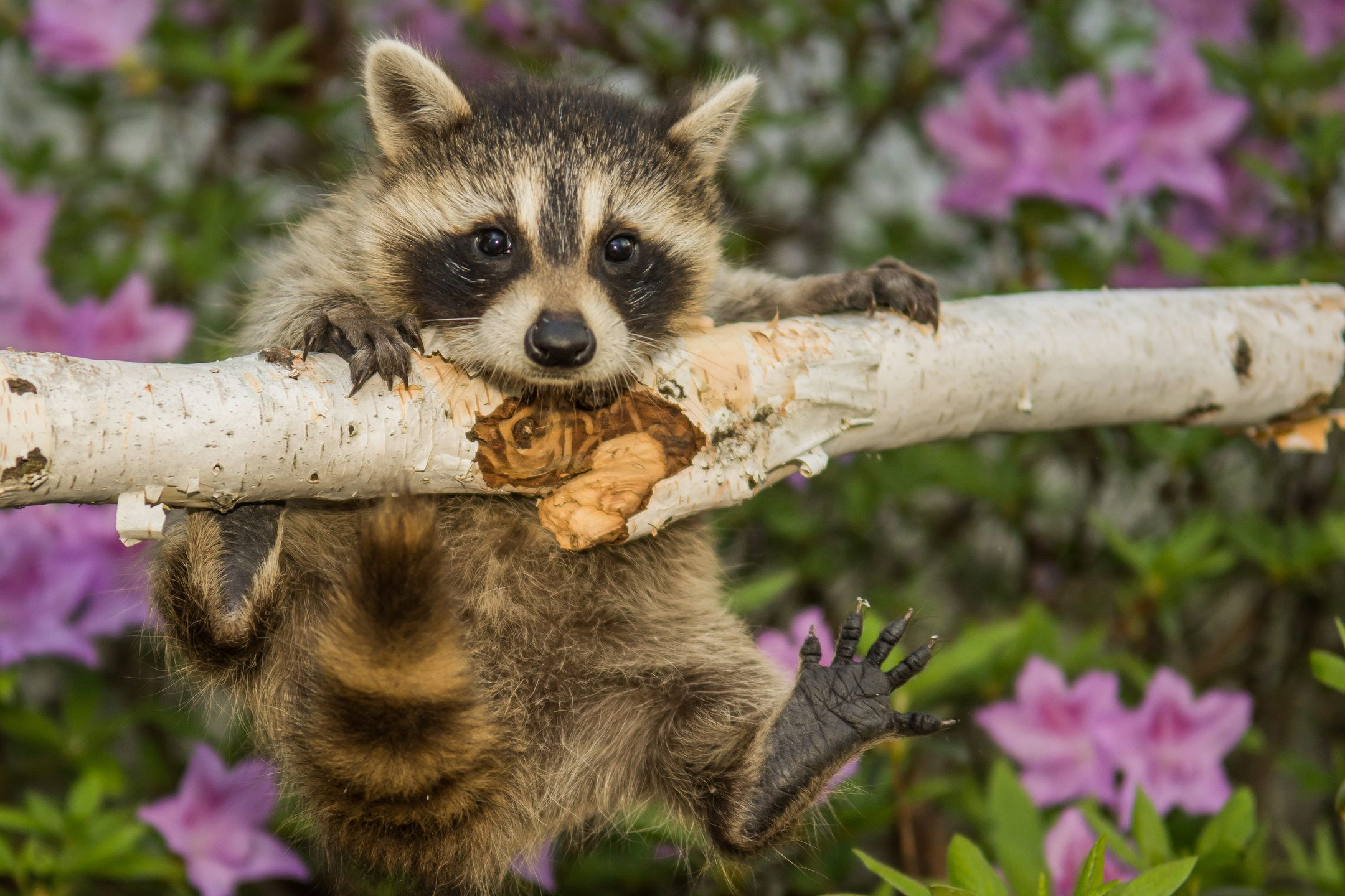 Raccoon kit playing – Baby raccoons are called kits or cubs and are ...
