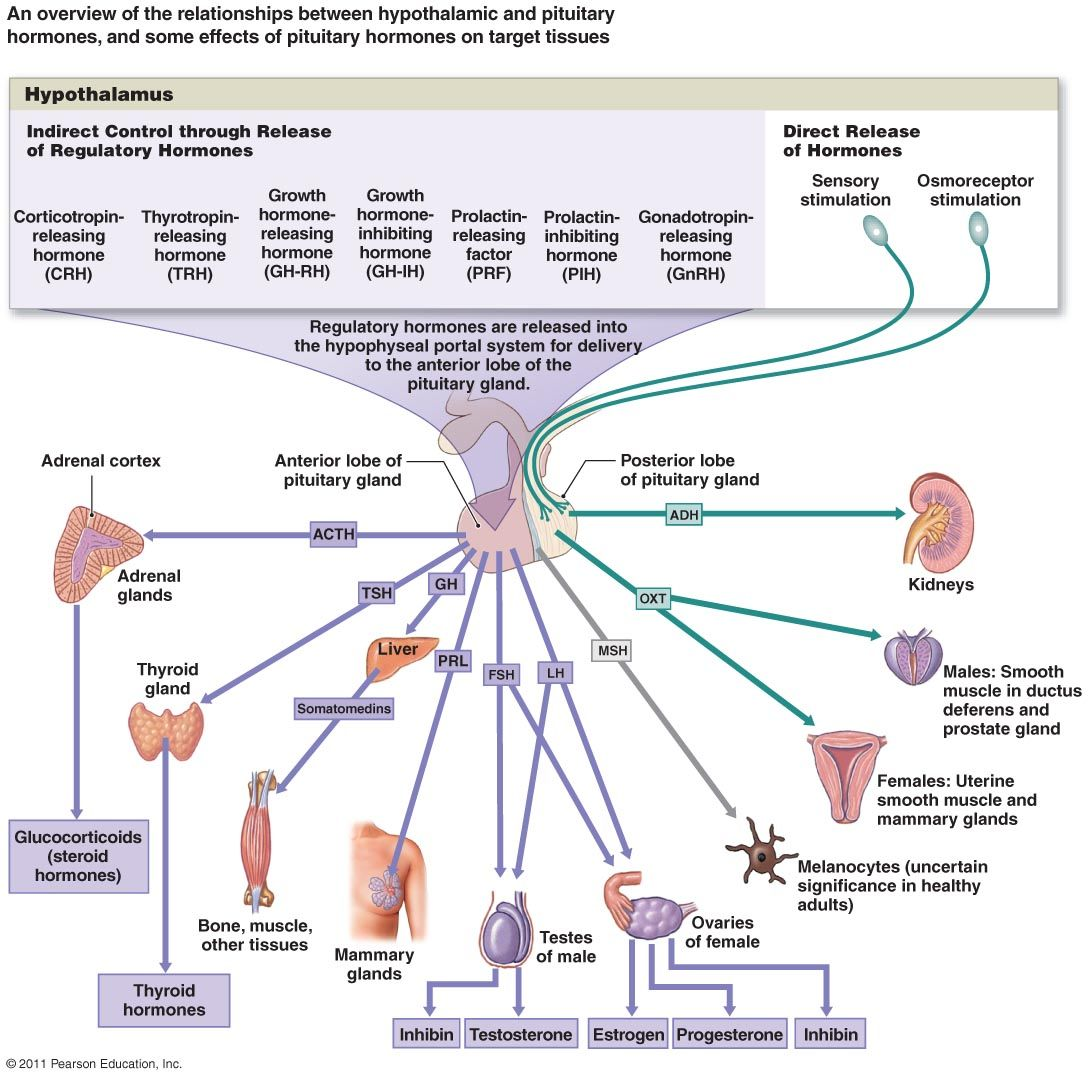 Endocrine System Hormones Diagram