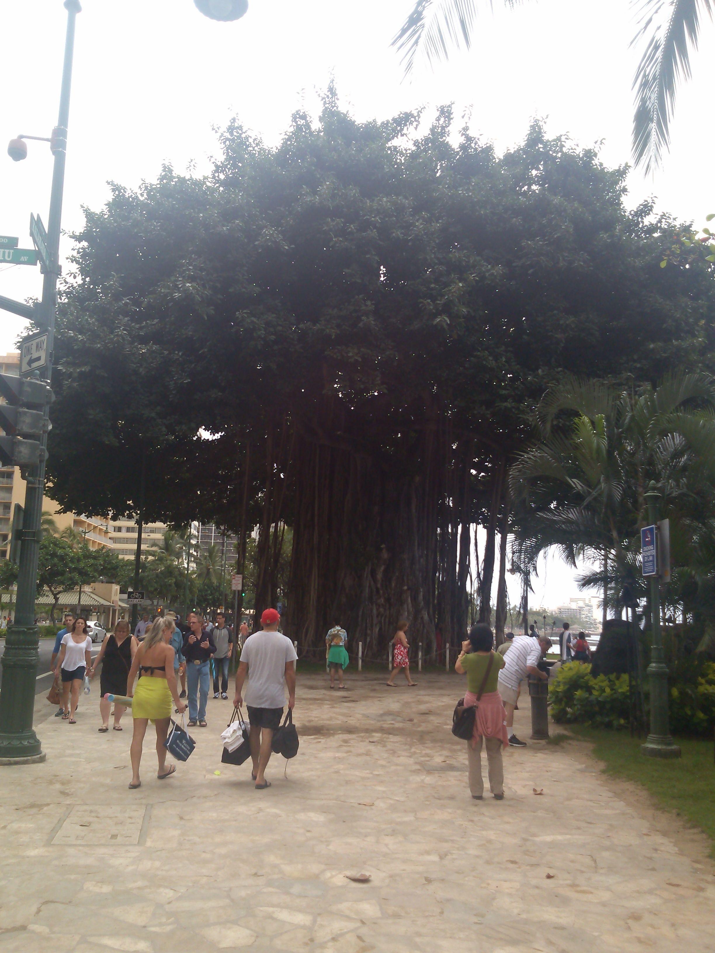 The Banyan Tree On Waikiki Beach