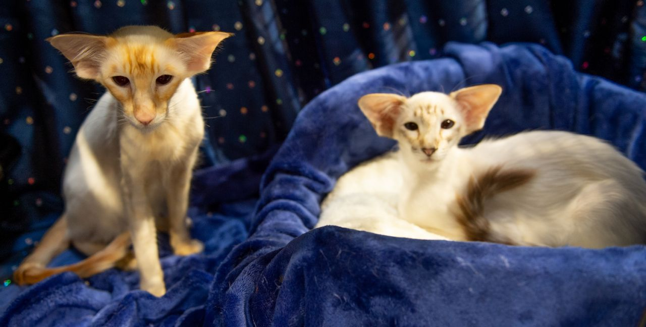 The Supreme Cat Show Balinese Cat Cats Kittens