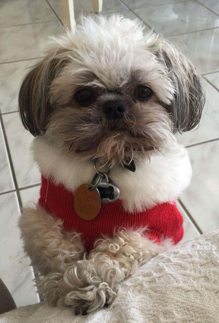 Too Cute Puppy Love Shih Tzu Shih Tzu Dog Dogs
