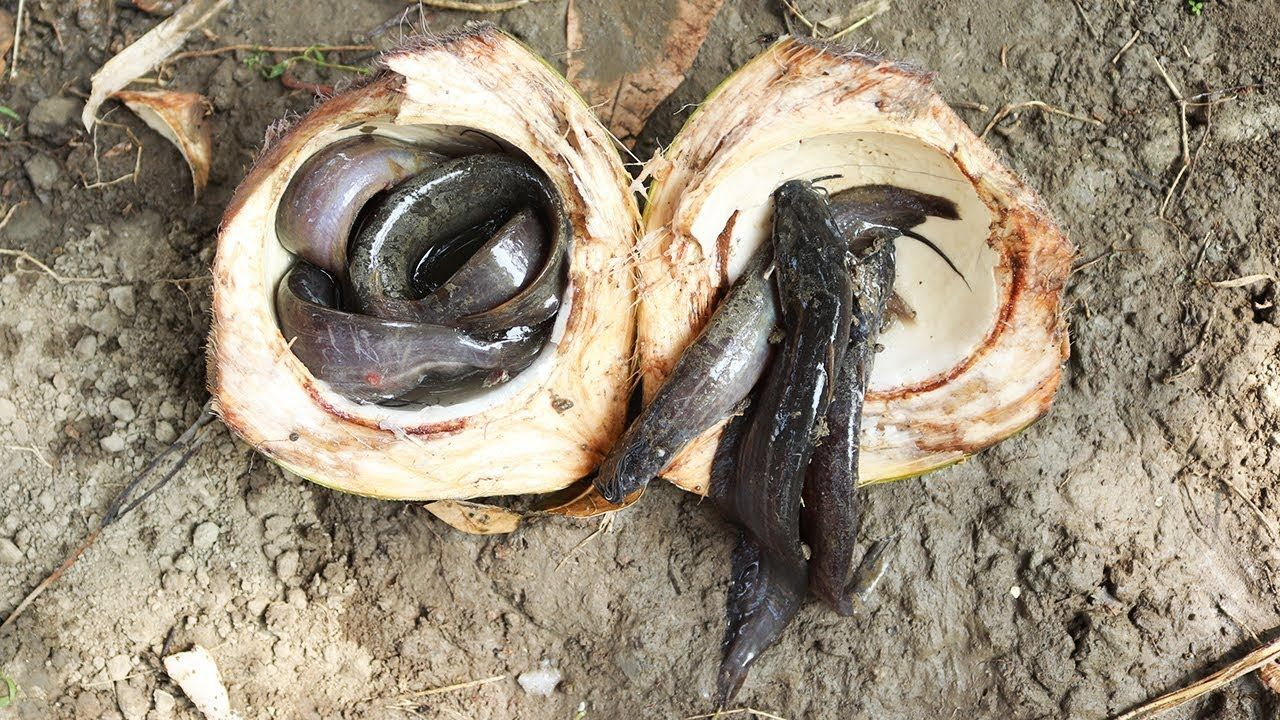 Unbelievable Fishing Catch Catfish By Coconut Fish Trap