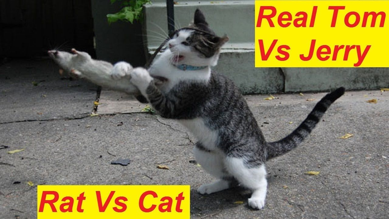 Cats Vs Rats Real Tom Vs Jerry Funny Cats Video