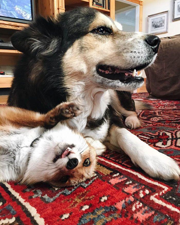 Lemmikkiketusta koiran paras ystävä8