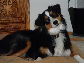 Zena Is Available For Adoption At National Mill Dog Rescue Adopt Dog Nmdr Puppymill Adoptdontsh Dog Adoption Australian Shepherd Australian Shepherd Dogs