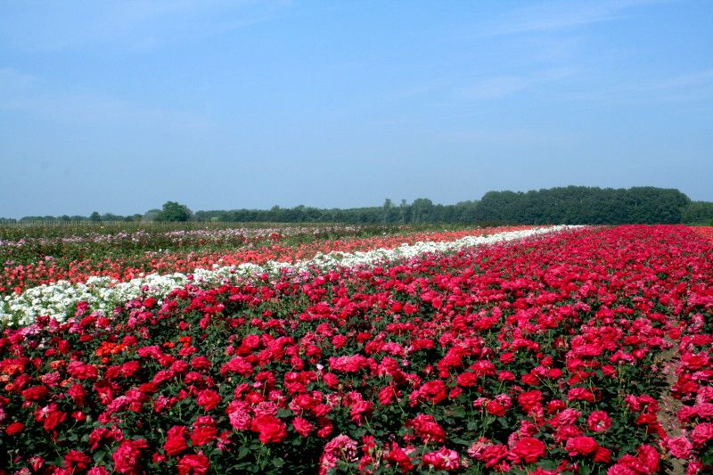 een veld vol rode rozen