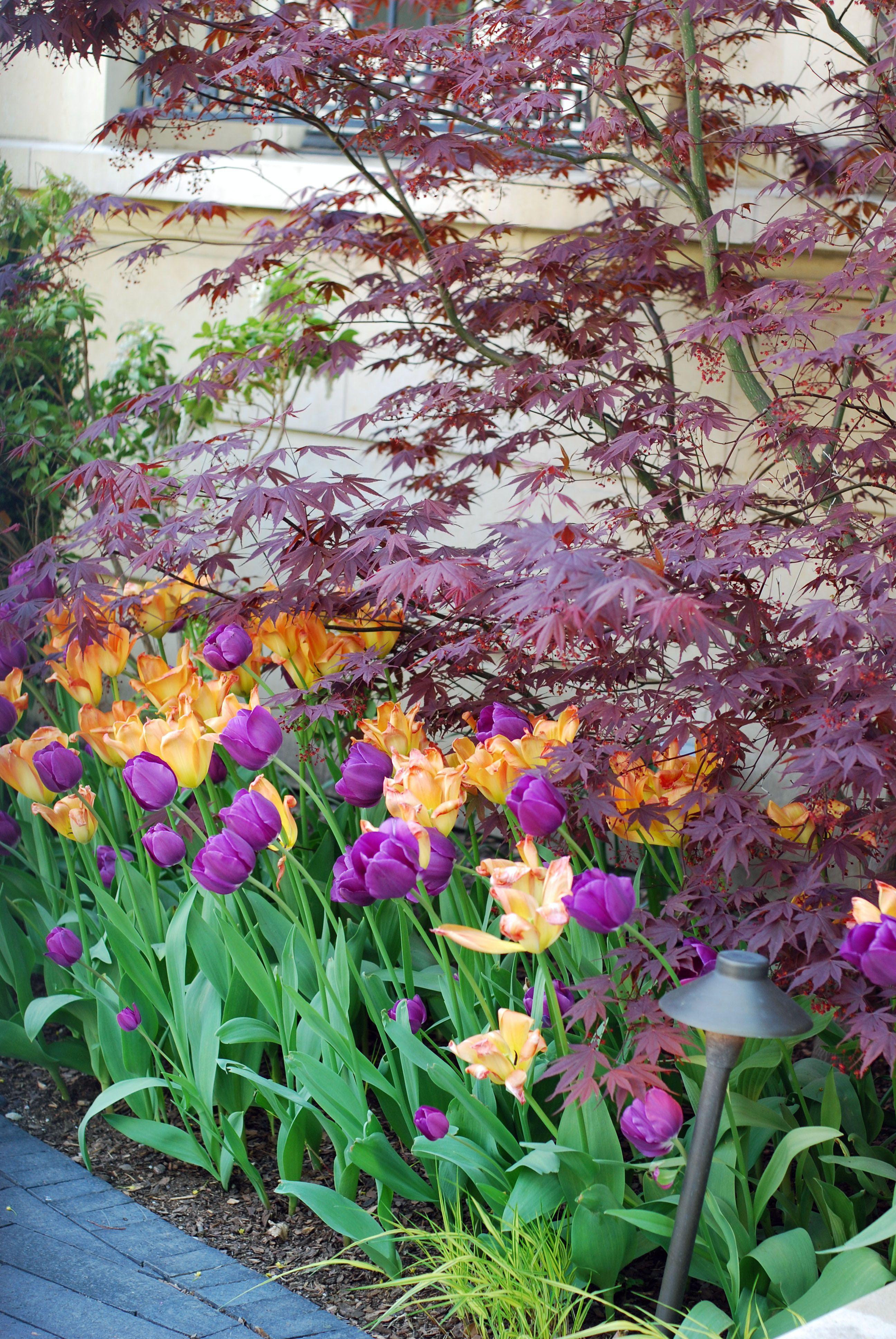 Tulip Bulbs Spring Annuals Flowers Urban Garden