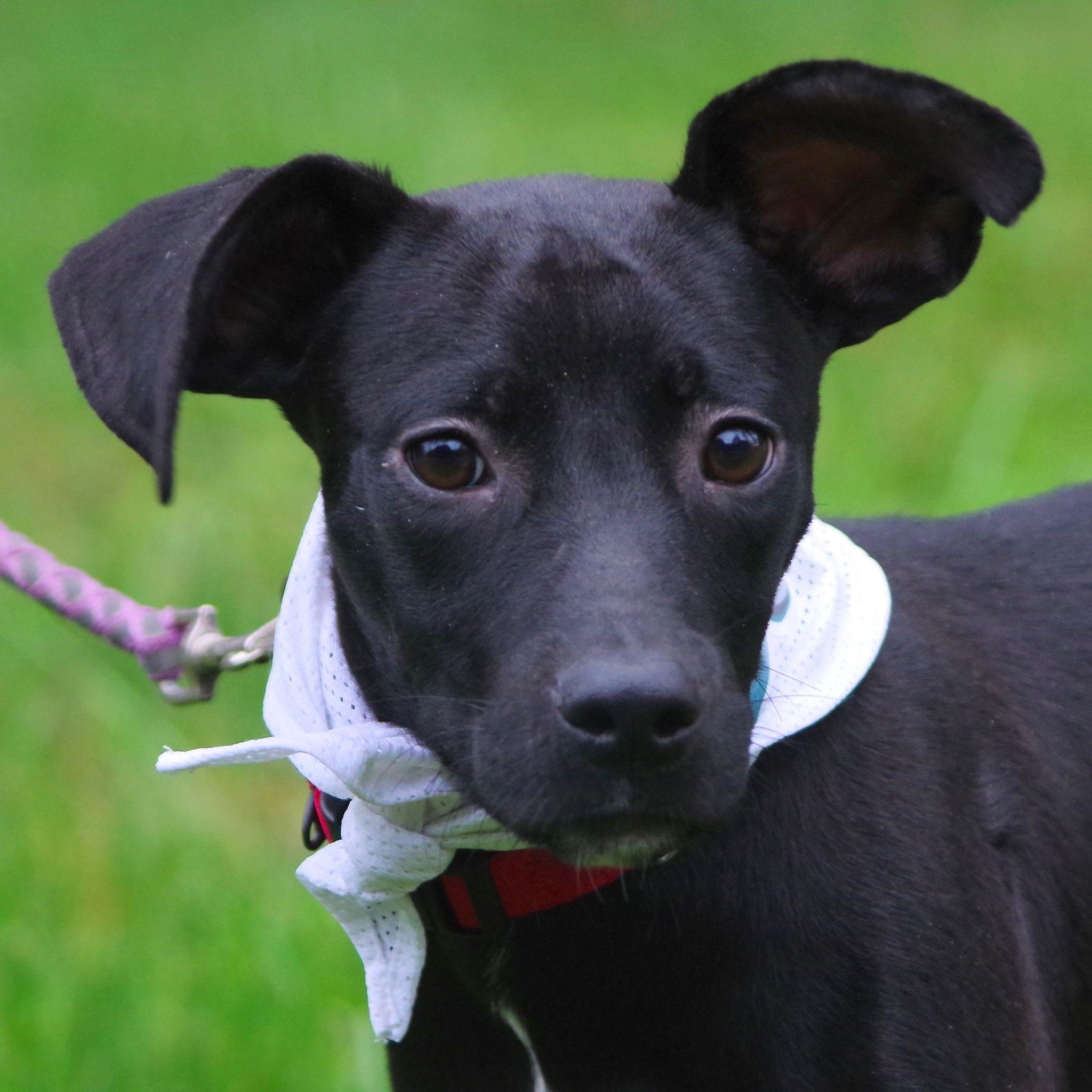 Adopt Jake on Animal shelter, Whippet mix, Animals