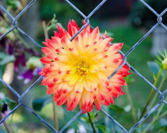 "Urban Photography, ""Fenced Flower"", Sunburst Wall Art, Fanciful Floral Print"