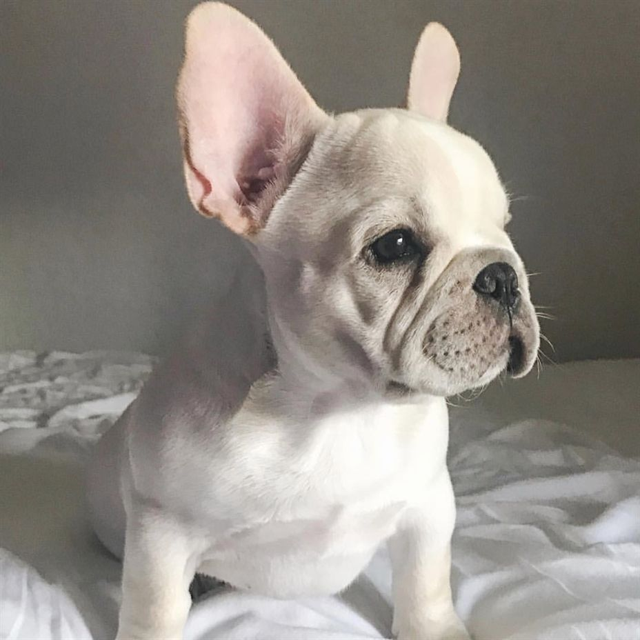 So Much To Do So Little Time French Bulldog Puppy Funny Animal Pup Bulldog Puppies French Bulldog Puppies Bulldog Puppies Funny
