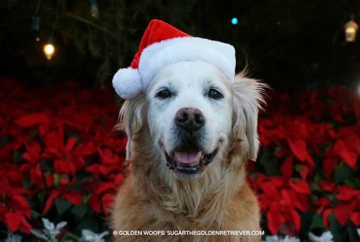 Are Poinsettias Poisonous To Pets Golden Woofs Pets Poinsettia Pet Safe