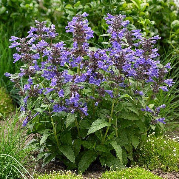 Nepeta 'Neptune ('Bokratune') (PBR)' catmint Plants