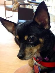 Bella Is An Adoptable Chihuahua Dog In Alden Ny Welcome Bella