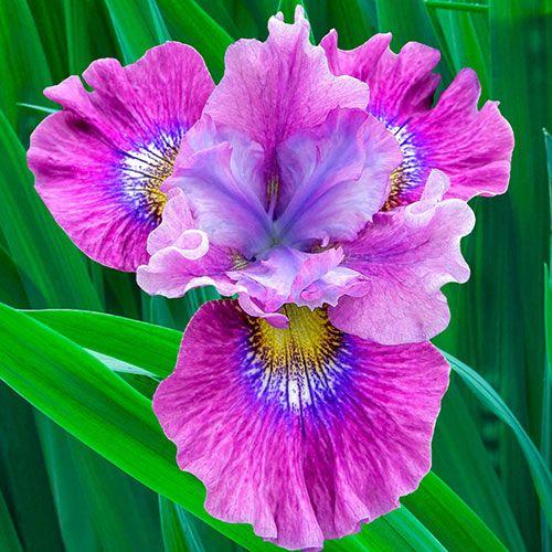 2 Iris Flower Bulbs Garden Decor Perennial Balcony Plant Bonsai Home Gift Indoor