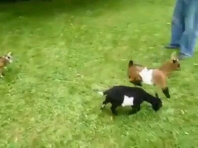 A crazy goat