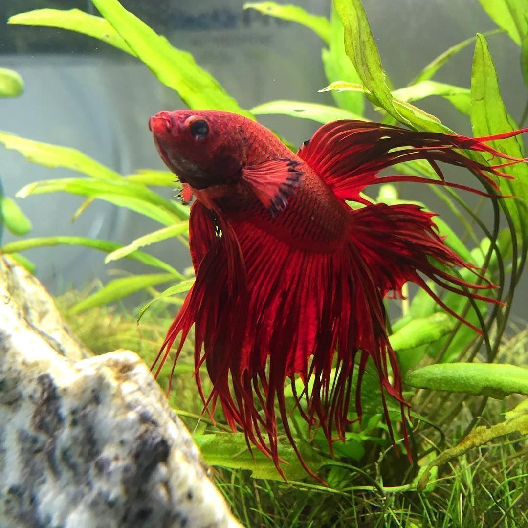 A lovely shot of a blood red crowntail #bettaboxx #betta ...