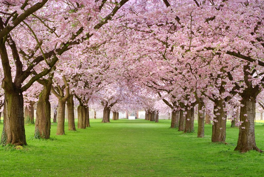 Spring Photography Tips Capturing The Full Bloom Blossom Trees Tree Wall Murals Tree Wallpaper