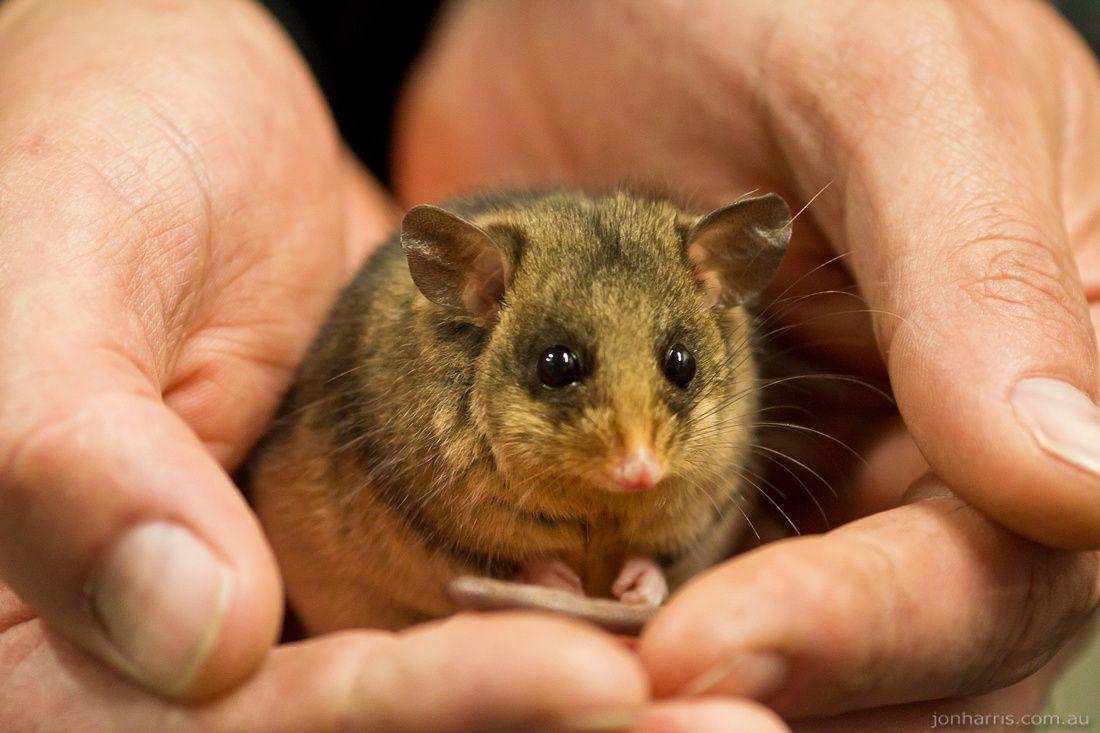 Australian Pygmy Possum