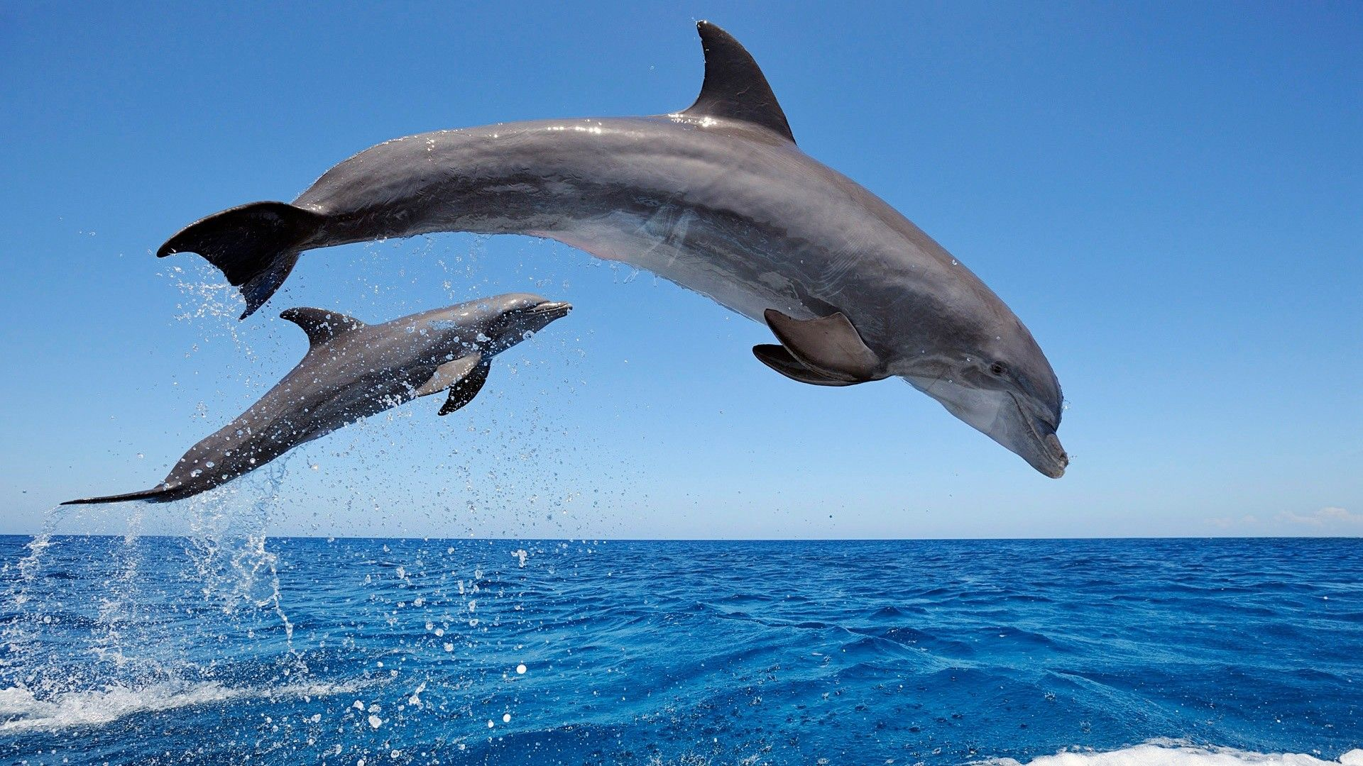 Two dolphins jumping in the sea, HD Wallpaper, Download