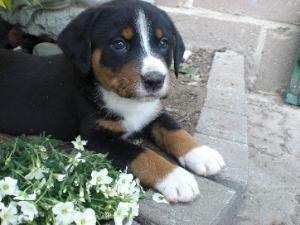 An Adorable Appenzeller Sennenhund I Want One Soo Bad Hunde Appenzeller Sennenhund Welpen Und Appenzeller Hund
