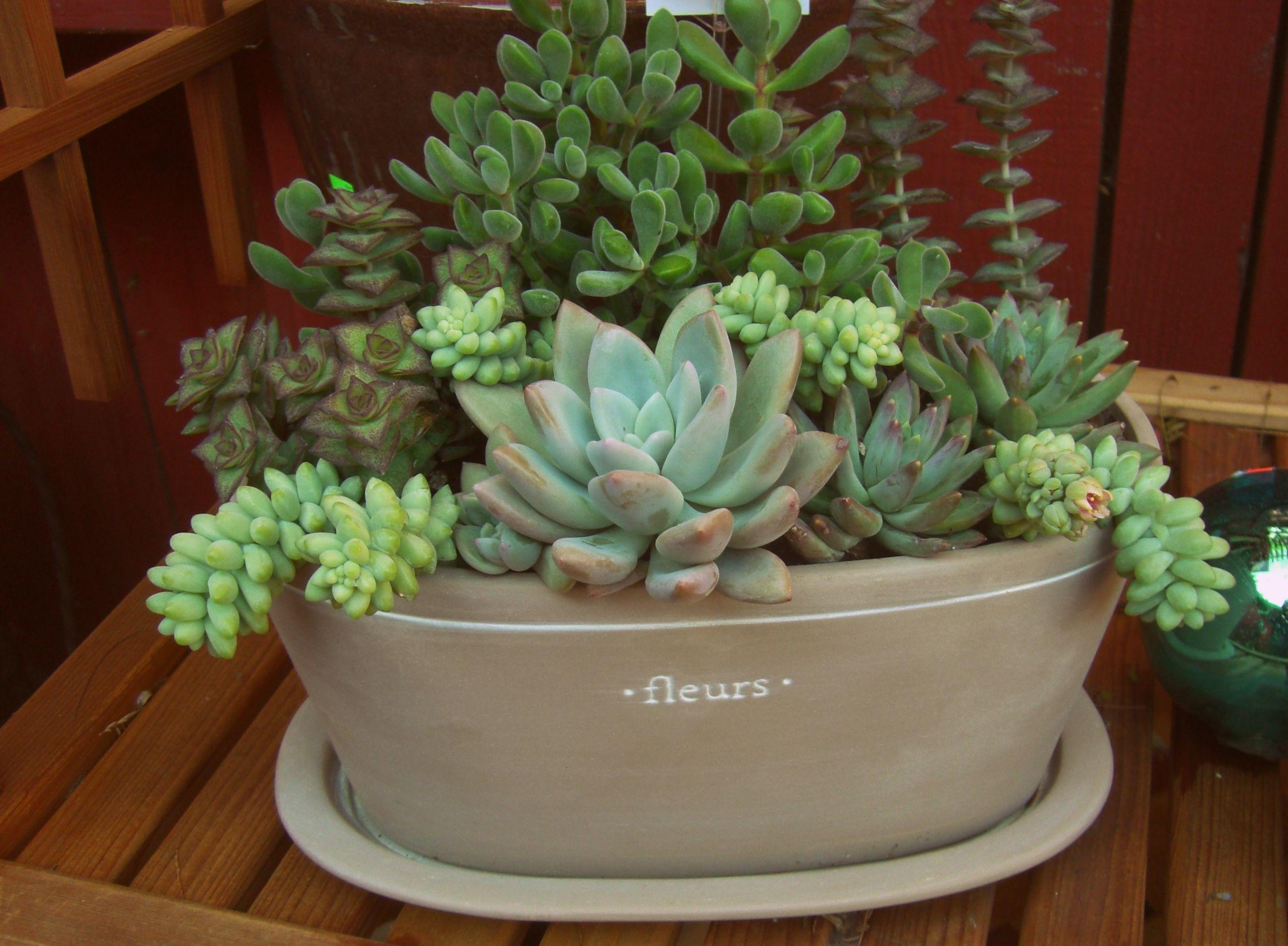"Succulents in ceramic ""fleurs"" pot. LaurasLittleGardens.com"