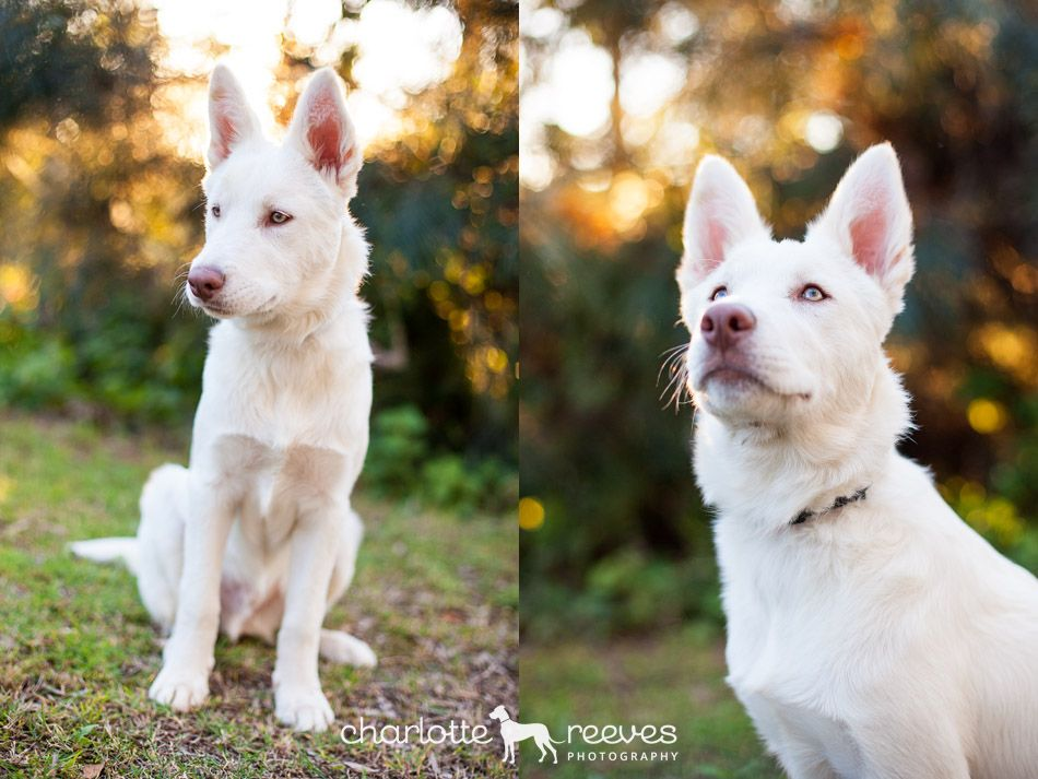 On Location Session Cosmo The Siberian Husky X Border Collie