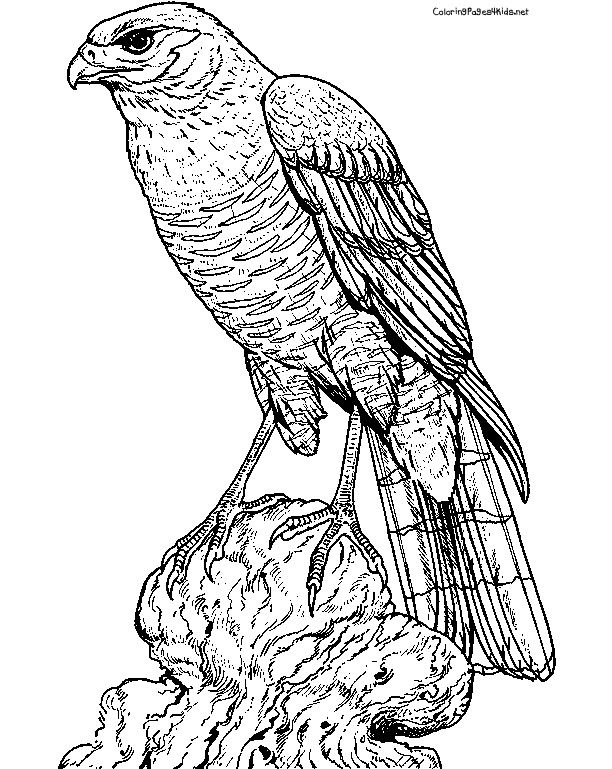 types of birds coloring pages - photo#36