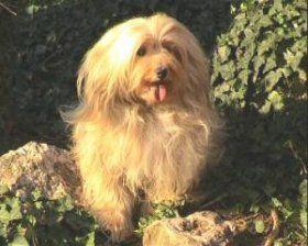 Scottish Terrier Kaufen Scottish Terrier Welpen Bei Dhd24 Com