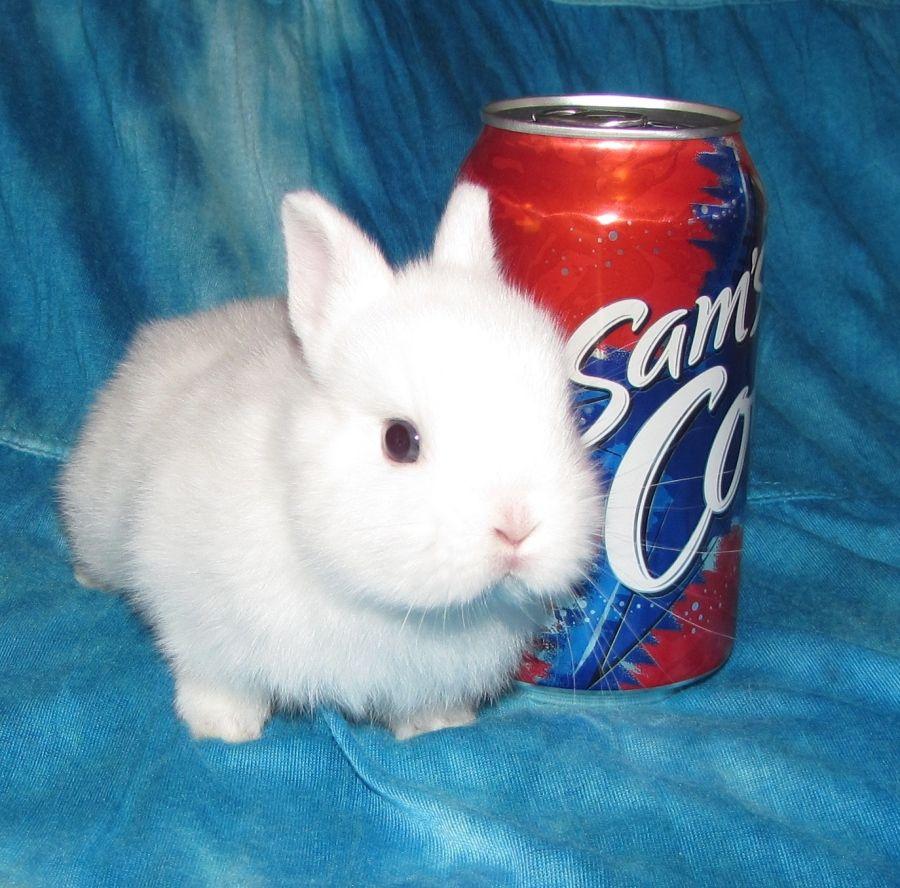 Netherland Dwarf Rabbits - Bing Images