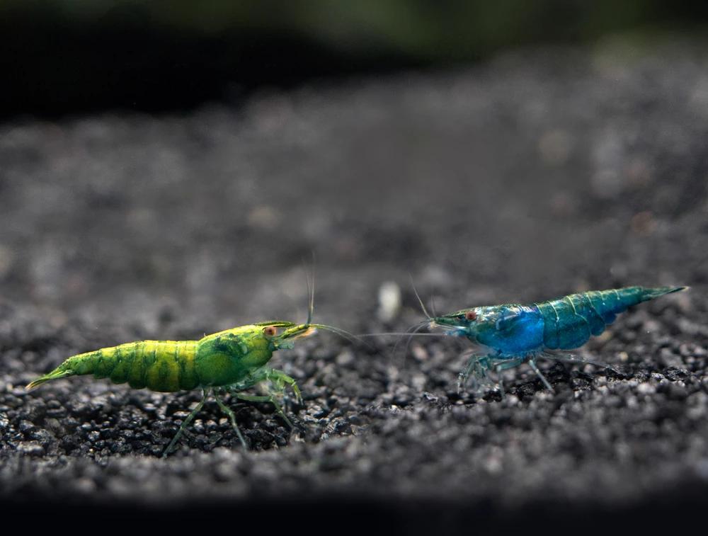 Blue Green Emerald Shrimp Neocaridina Davidi Tank Bred Red Cherry Shrimp Nano Aquarium Rainbow Shrimp