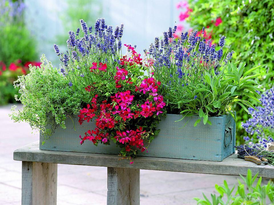 Lawenda Pachnie Nie Tylko Wtedy Gdy Kwitnie Silny Aromat Wydzielaja Takze Jej Rozgrzane W Sloncu Liscie Window Box Flowers Box